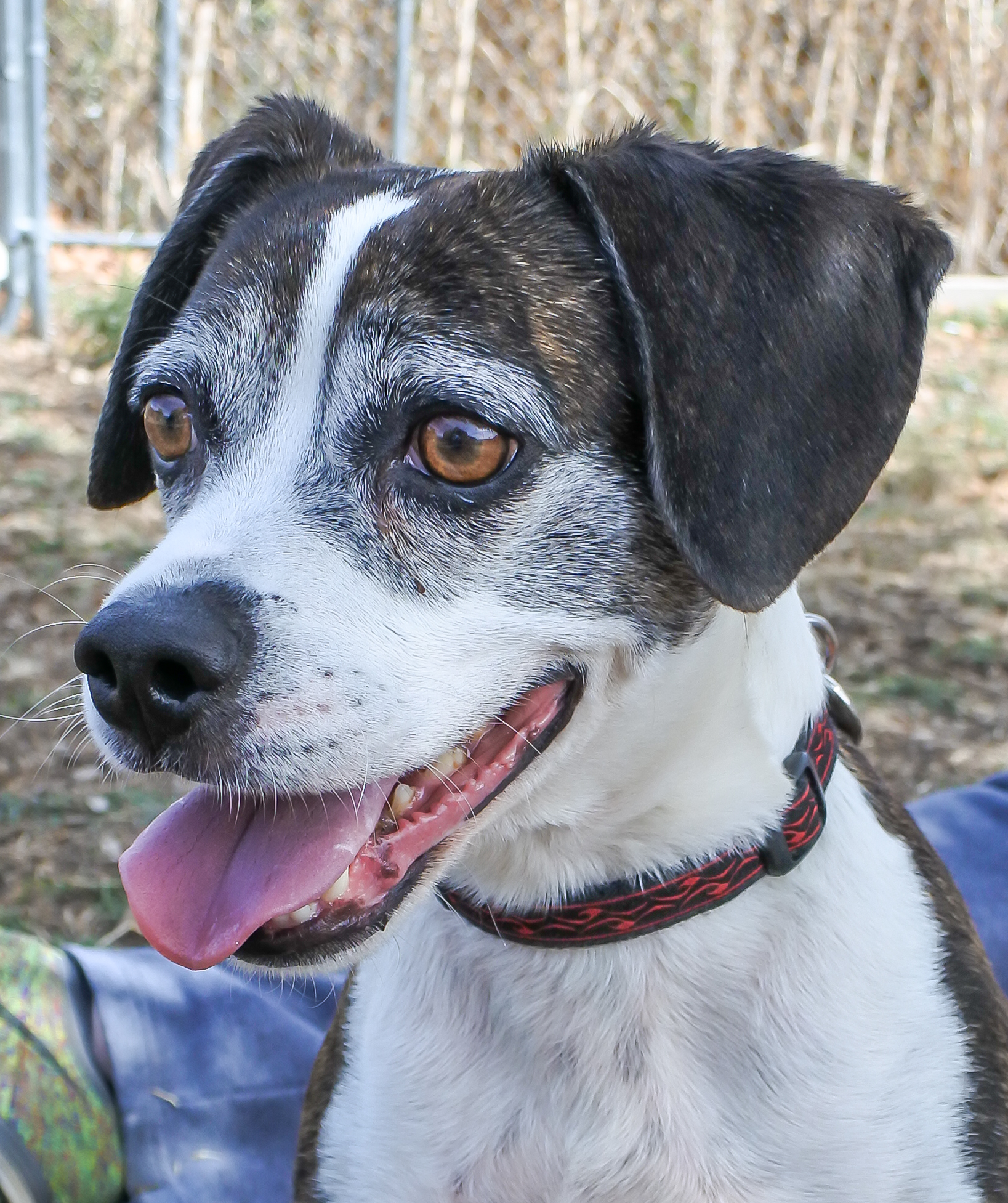 this week u0027s featured adoptable dogs willamette humane society by