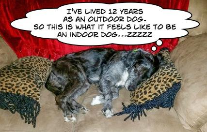 Sally as indoor dog (1)