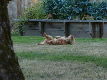 spencer-rolling-in-the-back-yard-2250-nw-13th-st-corvallis-or-27-september-2016-20